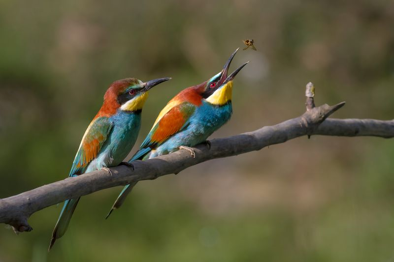 """Pair of Merops apiaster feeding"" od Pierre Dalous – Vlastní dílo. Licencováno pod CC BY-SA 3.0 via Wikimedia Commons"